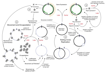 geminivirus rolling circle replication