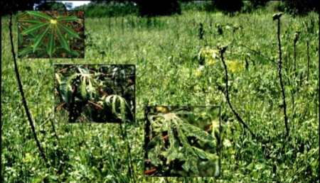 Cassava affected by a recombinant African cassava mosaic virus in western Kenya, 1997