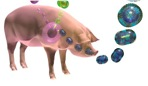 Influenza viruses in pigs