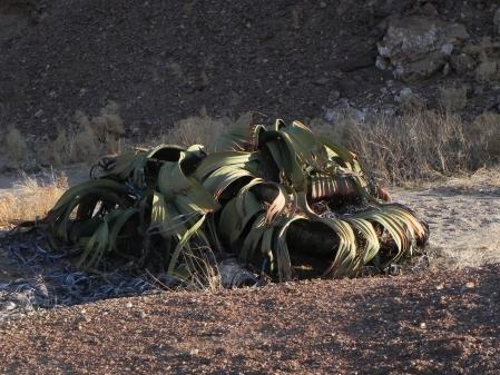 welwitschia 2012