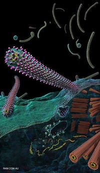Ebola virus budding from an infected cell.  Courtesy of Russell Kightley Media