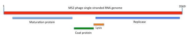 Depiction of the linear sequence of MS2 phage. The maturation (M), coat (CP) and replicase (Rep) genes and proteins were known at the time of sequencing; the lysis gene that partially overlaps the Rep open reading frame was shown to be functional only in 1982