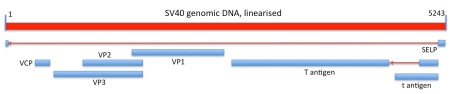 Linear depiction of the circular SV40 genome and its protein coding capacity.  Regions of RNA spliced out of of transcribed genomic sequence, and the direction of transcription, are shown as red arrows.  Genes shown are those depicted in the current Genbank sequence entry.