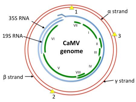 "Diagram showing a depiction of the CaMV genome in red, with single-strand discontinuities shown as yellow triangles.  mRNA species are shown in blue: the 35S RNA is longer-than-genome-length, with a ~200 bp repeat at the 5' and 3' ends.  ORFs as presently known are shown in green.  Redrawn from Figure 8.1 of REF Mathews' ""Plant Virology"", 3rd edition."