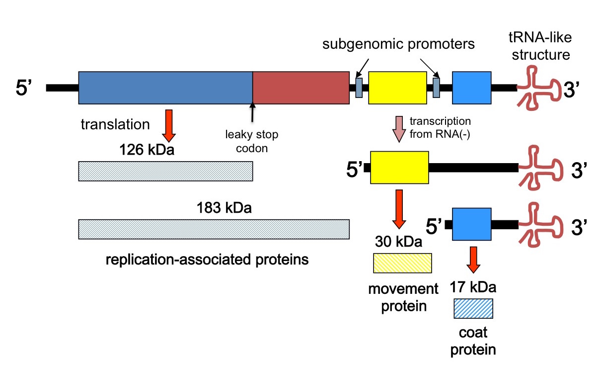 structure and rerplication of retroviruses Replication of retroviruses is sensitive to the transcription inhibitors actinomycin d, alpha-amanitin nucleoside and analogues like 5-bromodioxyuridine and cytosine arabinoside 5 bromodioxyuridine and cytosine arabinoside are thought to inhibit dna replication.