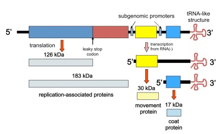 Depiction of the TMV genome and transcription and translation strategy