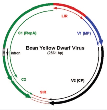 Figure 1. Genomic organization of Bean yellow dwarf virus. CP, capsid protein. LIR, long intergenic region. MP, movement protein. Rep, replication associated protein. SIR, short intergenic region. [9]